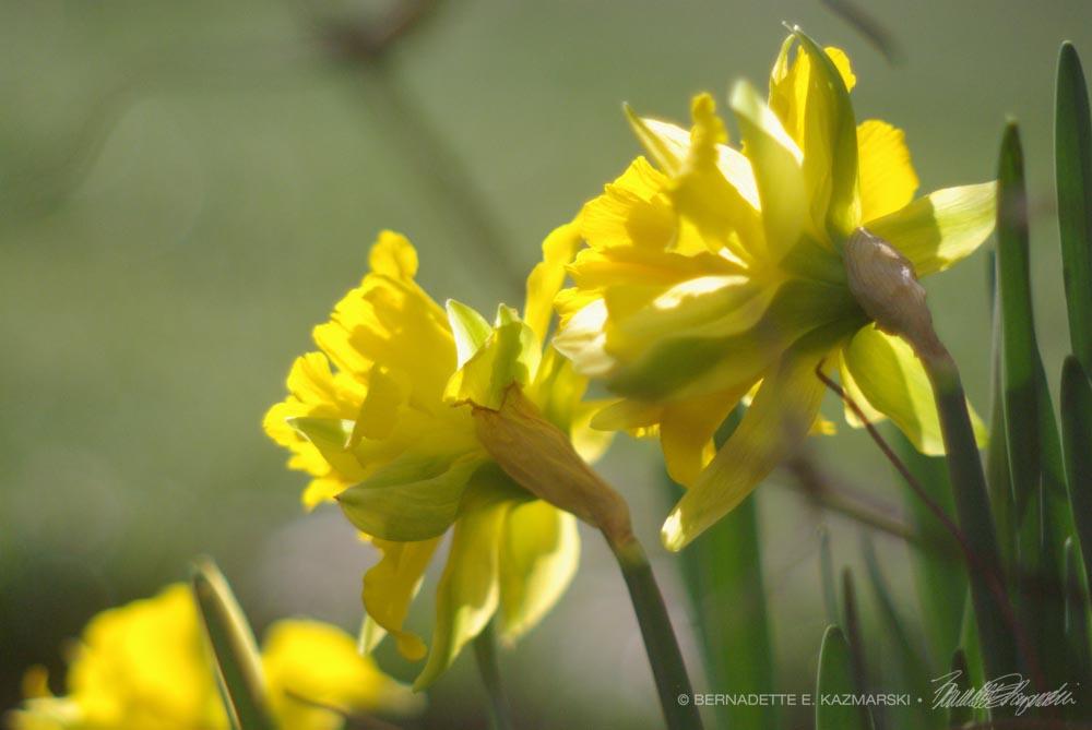 Vintage Daffodils