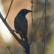 032111Grackle-rev