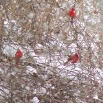 Cardinal in Brambles