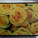 Yellow Rose Happiness