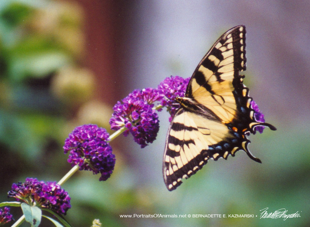 Tiger Swallowtail on Butterfly Bush, Butterfly Photo
