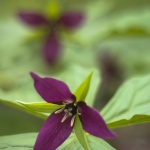 Birthroot, Red Trillium, digital photo