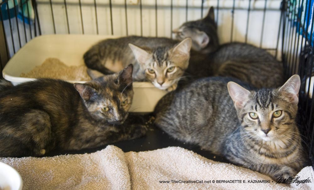 Kittens for adoption from Pittsburgh CAT.