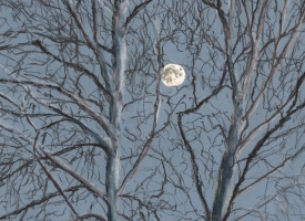 Captivating Sycamore Moon